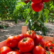 How Tomatoes Prevent Cancer